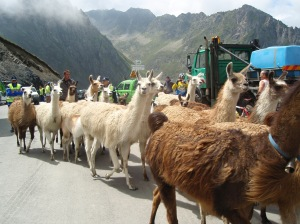 Alpacas on the Tourmalet